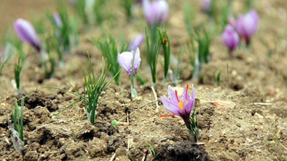 Safran çiçek açtı